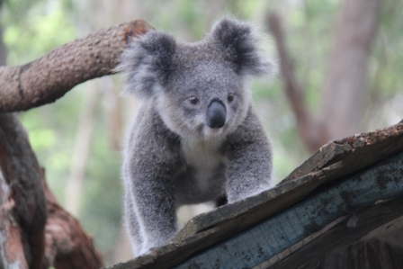 koala (c) Andy Mossack