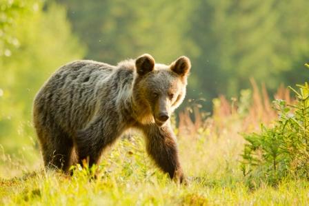 High Res wild brown bears slovakia