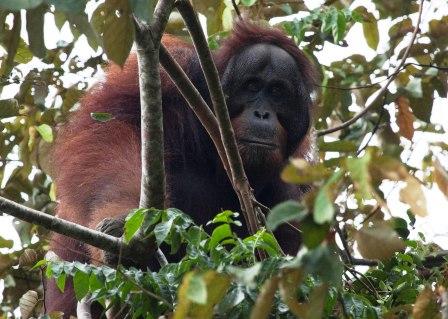 WLT organised a site visit for journalists and World Land Trust?s Mary McEvoy to Borneo in October 2012.The fact-finding visit to the Lower Kinabatangan district in Malaysian Borneo revealed the full horror of the effects of the palm oil industry on natural forest, which is habitat for Orang-utans.Among the group was photographer Astrid Munoz who took photographs during the trip and made them available to WLT to use with credits to promote conservation in Borneo.Following the trip WLT became more determined than ever to conserve rainforest habitat for the Orang-utan in Malaysian Borneo. In 2013 WLT launched a special appeal: Borneo Rainforest Appeal: aiming to raise One Million pounds.See:http://www.worldlandtrust.org/news/2013/08/borneo-rainforest-appeal-launchedhttp://www.worldlandtrust.org/news/2012/11/forest-orang-utans-wlt-determined-reverse-trend-million-pound-appeal