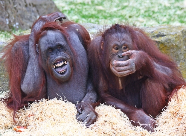 Blackpool's Orangutans are excited about their new home