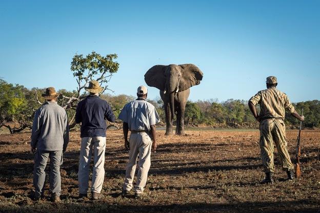 Elephant watch South Luangwa walking safaria