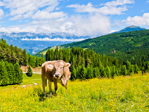 Cow and Wild Flowers