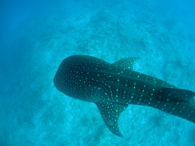 Whale Shark from above