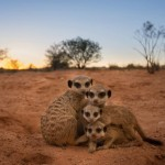 Kalahari Trails Meerkat Sanctuary
