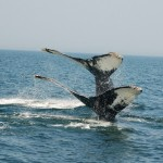 Whale watching in New Brunswick