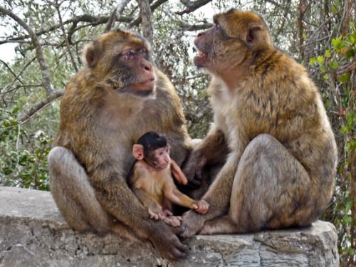 Gibraltar Macaque Family e1603990113823