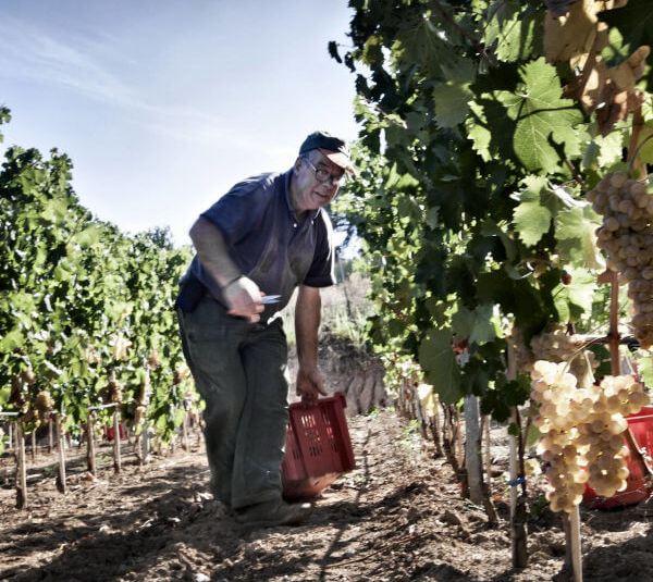 Siddura worker in the vineyard